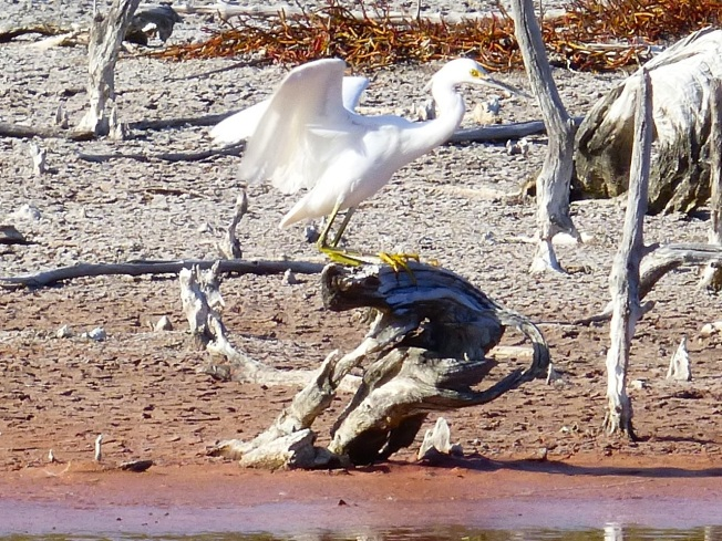 Snowy Egret, Gilpin Pond Abaco 8 (Keith Salvesen)