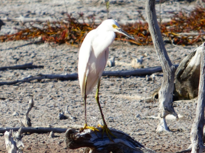 Snowy Egret, Gilpin Pond Abaco 9 (Keith Salvesen)