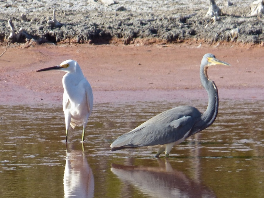 Snowy Egret with Tri-colored Heron, Gilpin Pond Abaco 1 (Keith Salvesen)