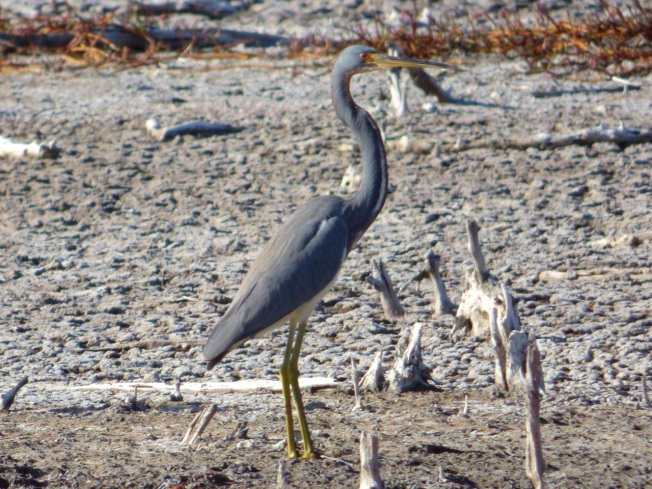 Tri-colored Heron, Gilpin Pond Abaco 2 (Keith Salvesen)