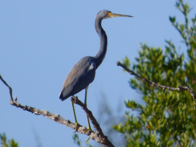 Tri-colored Heron, Gilpin Pond Abaco 4 (Keith Salvesen)