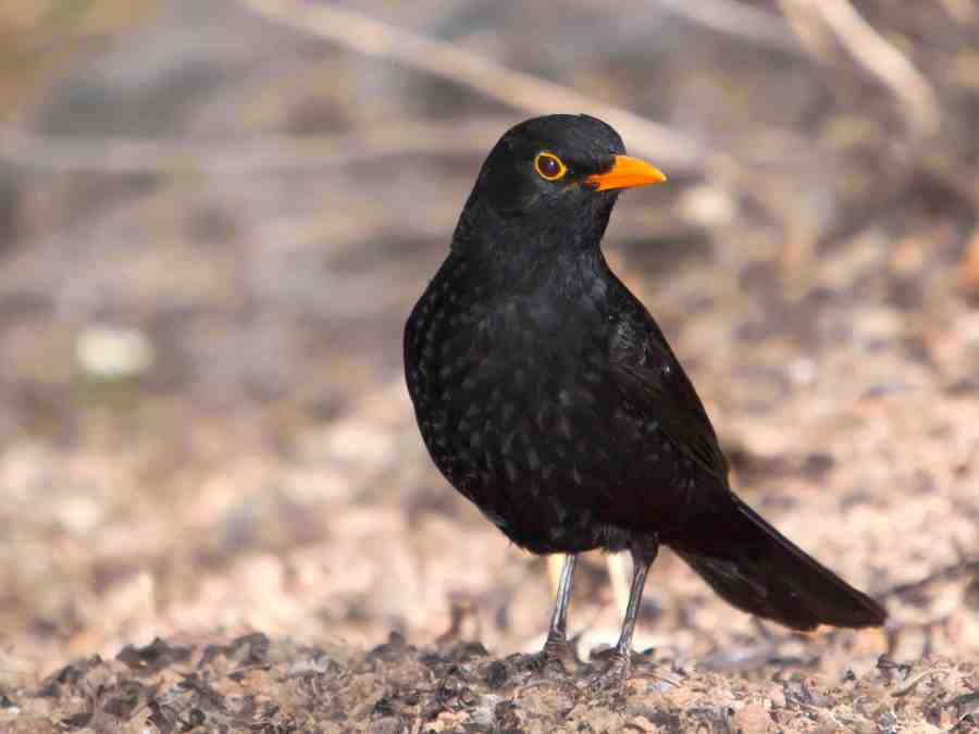European Blackbird (wiki)