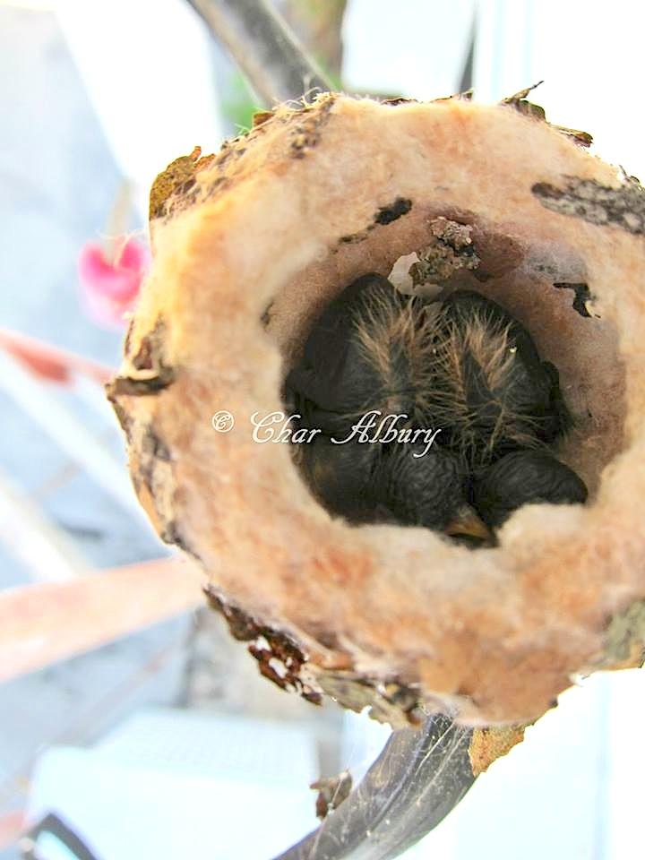 Bahama Woodstar nest with hatchlings, Abaco (Charmaine Albury)