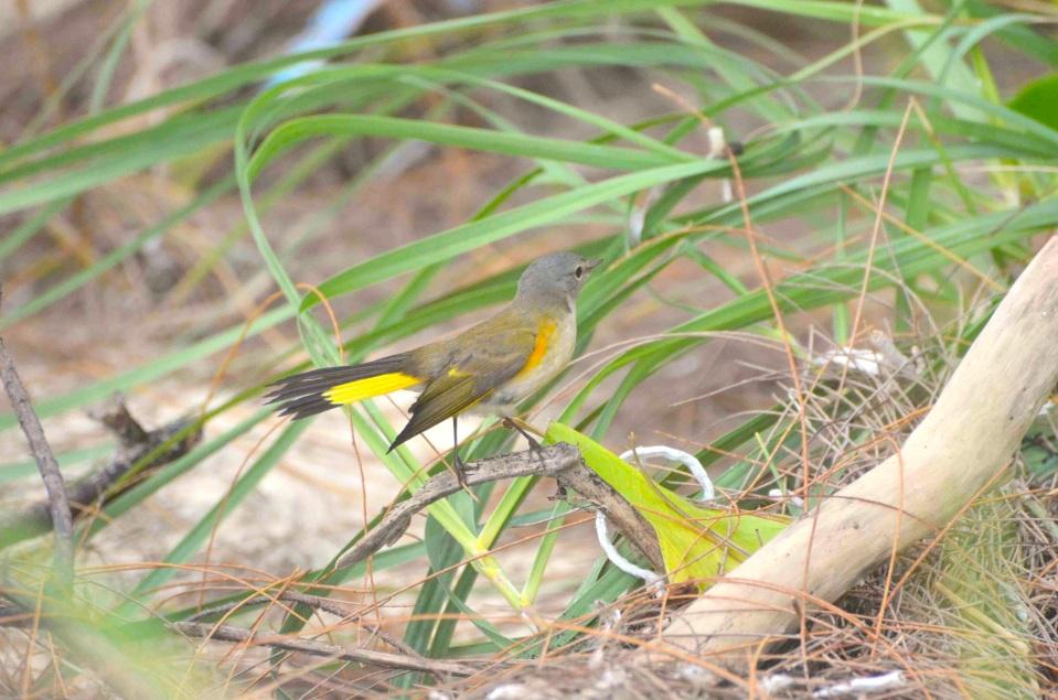 American Redstart (f), Abaco 1 (Charles Skinner)