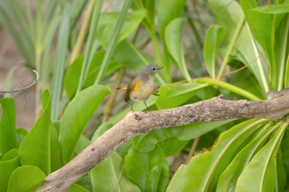 American Redstart (f), Abaco 3 (Charles Skinner)