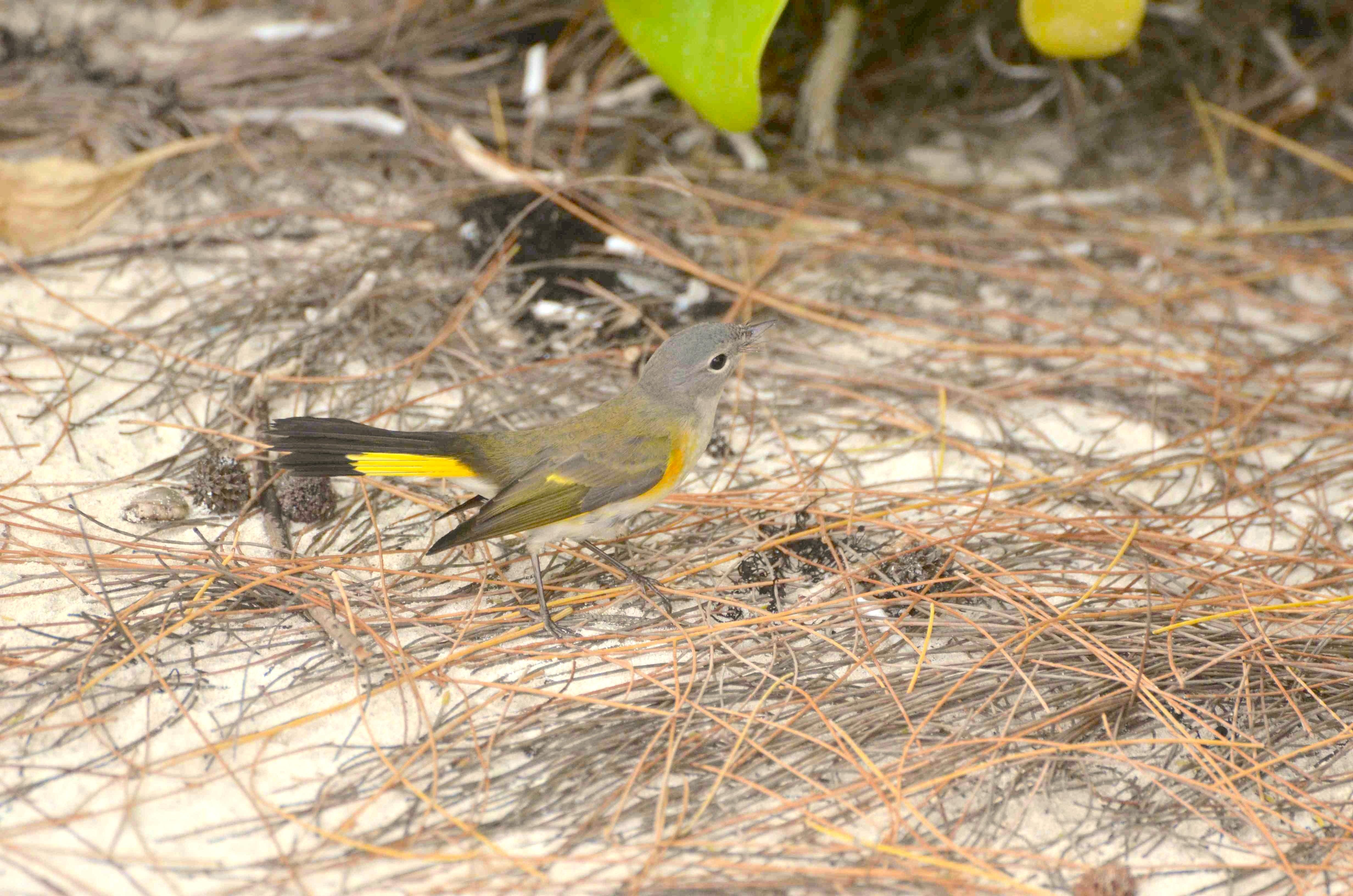 American Redstart (f), Abaco 5 (Charles Skinner)