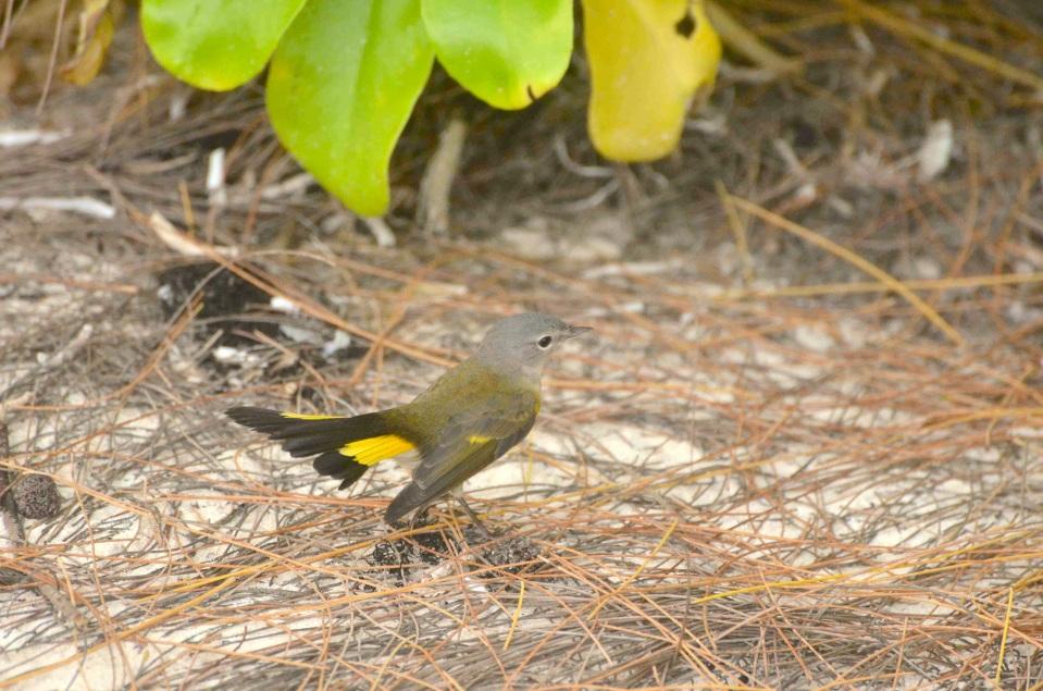 American Redstart (f), Abaco 6 (Charles Skinner)
