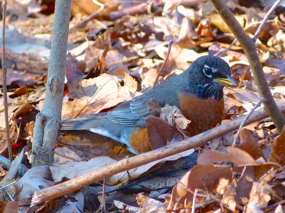 American Robin NYC Prospect Park