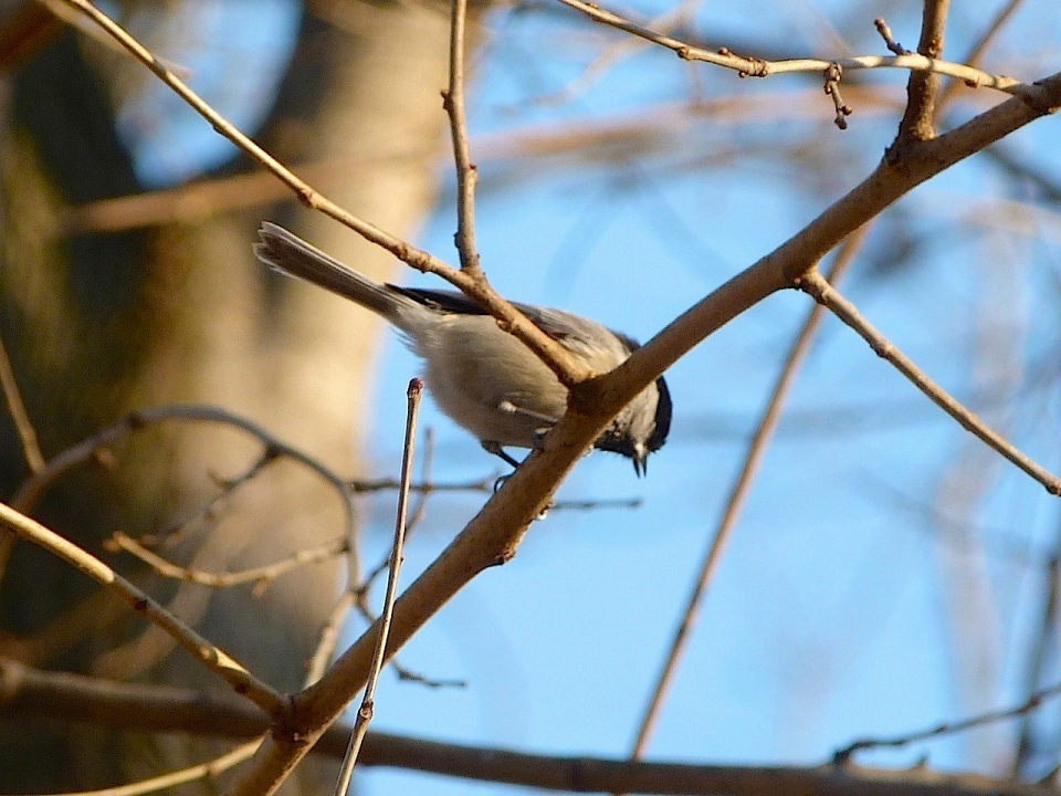 Black-capped Chickadee NYC