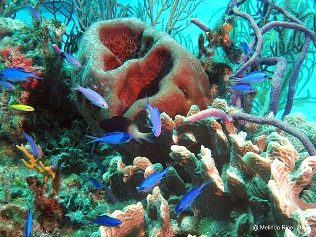 Blue Chromis & Coral ©Melinda Riger @ GB Scuba