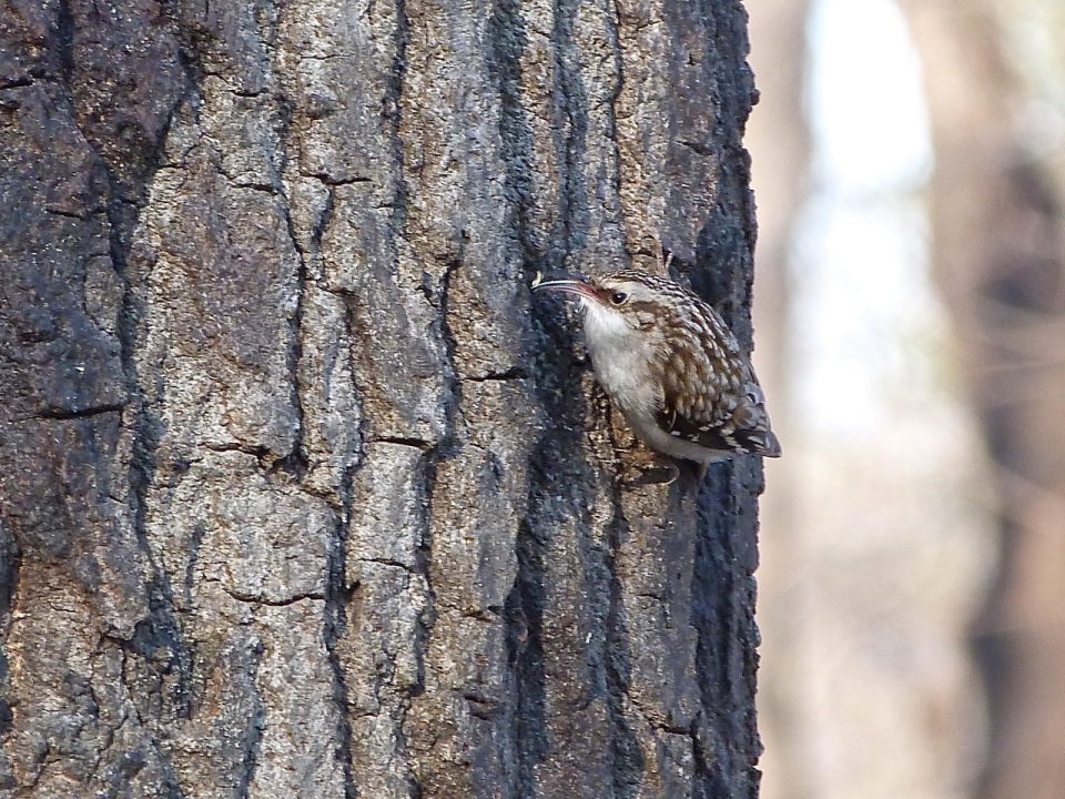 Brown Creeper NYC