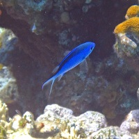 BLUE CHROMIS: BAHAMAS REEF FISH (29)