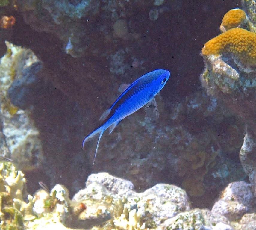 Chromis_cyanea_(blue_chromis)_(San_Salvador_Island,_Bahamas)