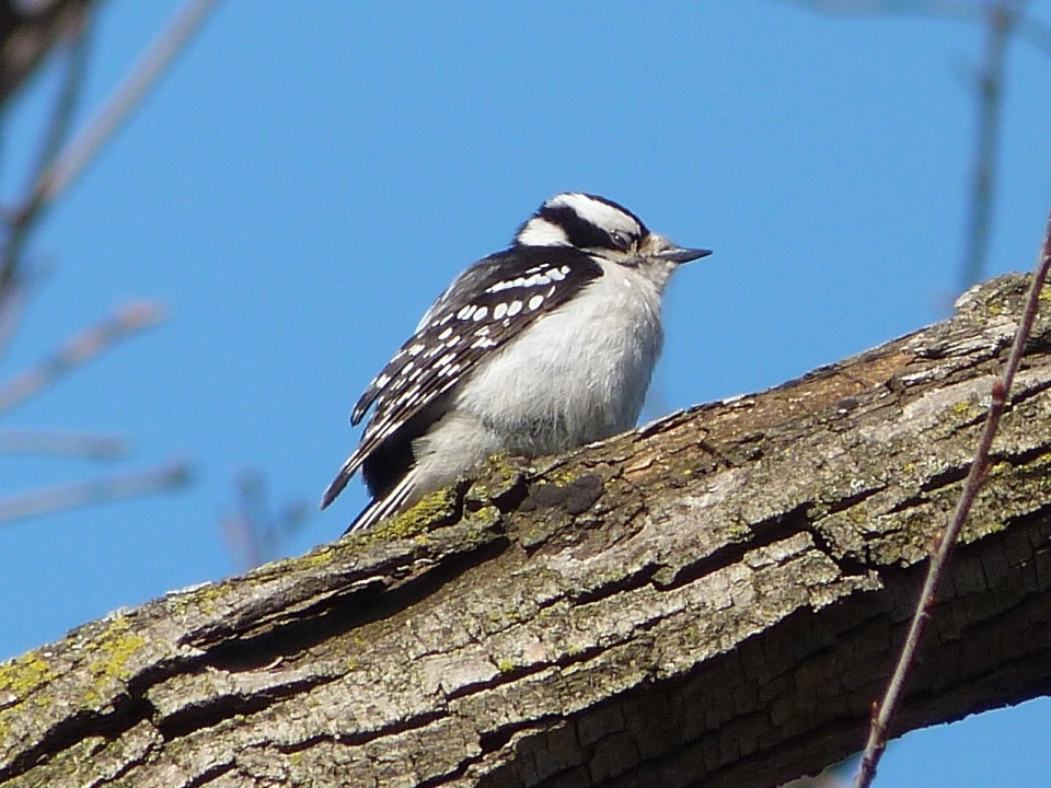 Downy Woodpecker 2 NYC