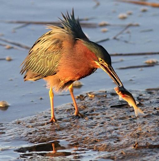 Green Heron with fish (Phil Lanoue)