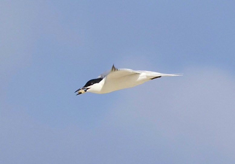 Gull-billed Tern, Abaco Bahamas (Alex Hughes)