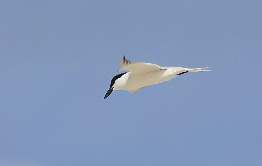 Gull-billed Tern, Abaco (Alex Hughes) 02
