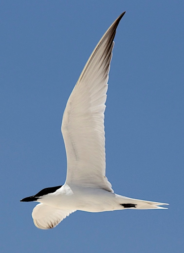 Gull-billed Tern, Abaco (Alex Hughes) 03