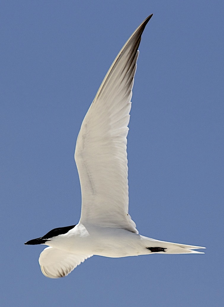 Gull-billed Tern, Abaco Bahamas (Alex Hughes)
