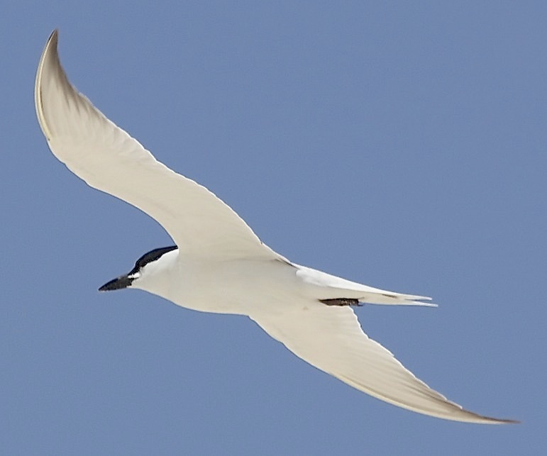 Gull-billed Tern, Abaco (Alex Hughes) 04
