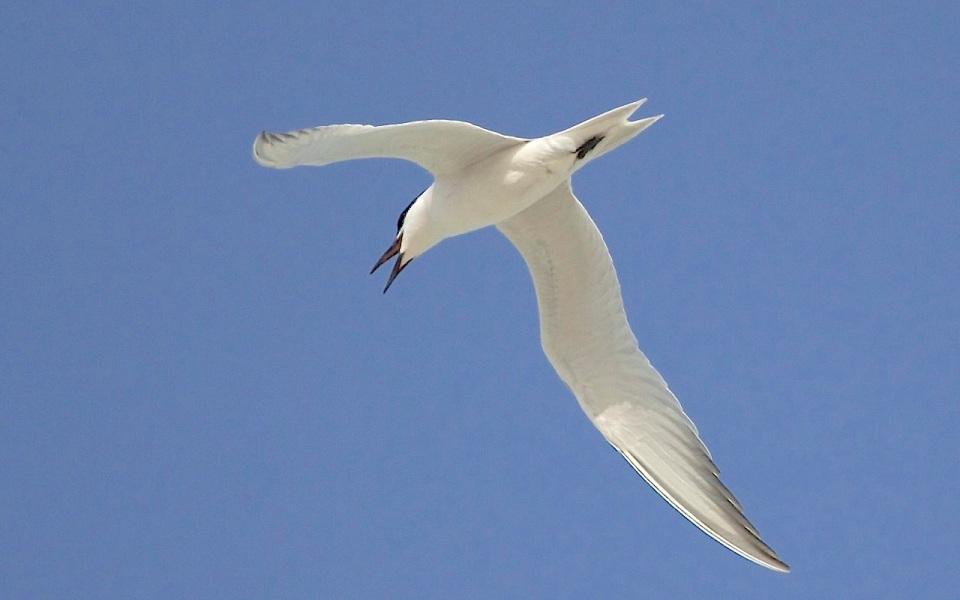 Gull-billed Tern, Abaco (Alex Hughes) 05