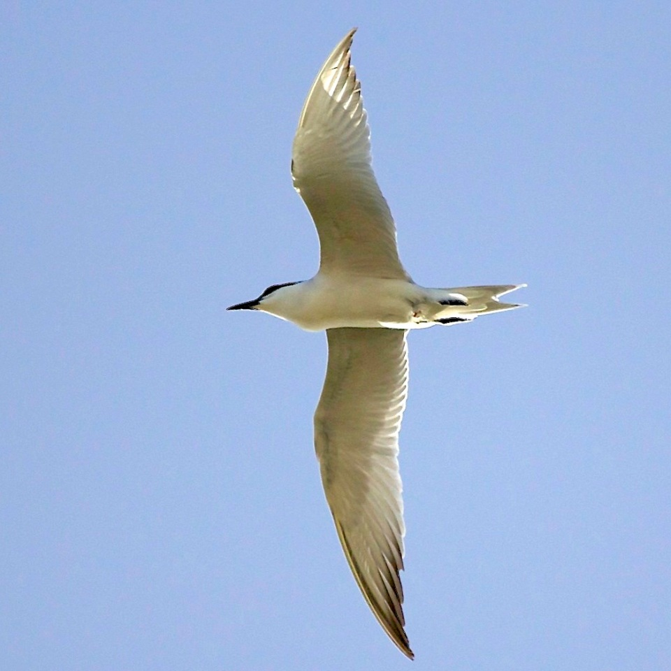 Gull-billed Tern, Abaco (Alex Hughes) 06