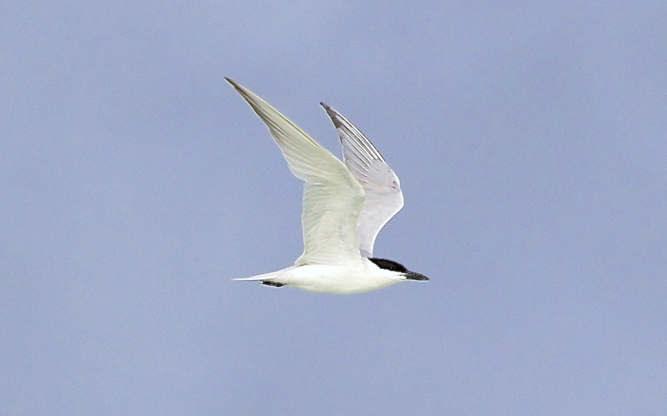 Gull-billed Tern, Abaco (Alex Hughes) 11