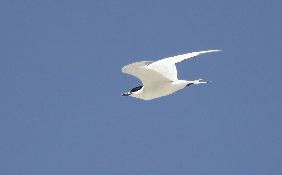 Gull-billed Tern, Abaco (Alex Hughes) 12
