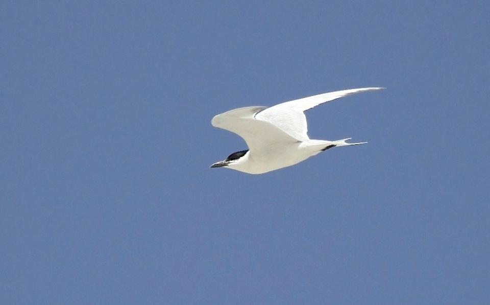 Gull-billed Tern, Abaco (Alex Hughes) 12
