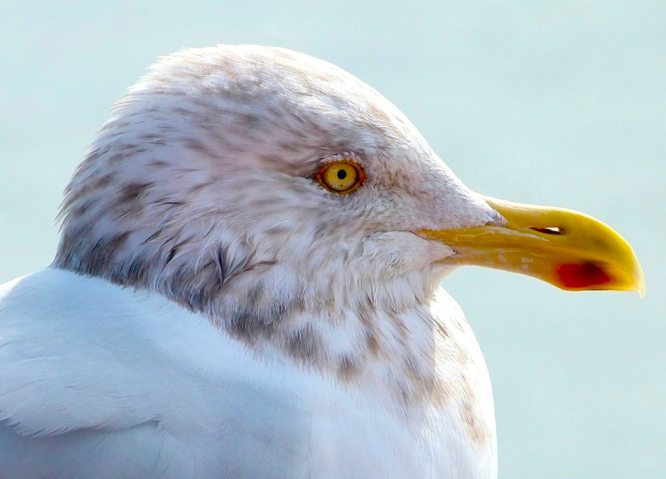 Herring Gull NYC Staten Island Ferry