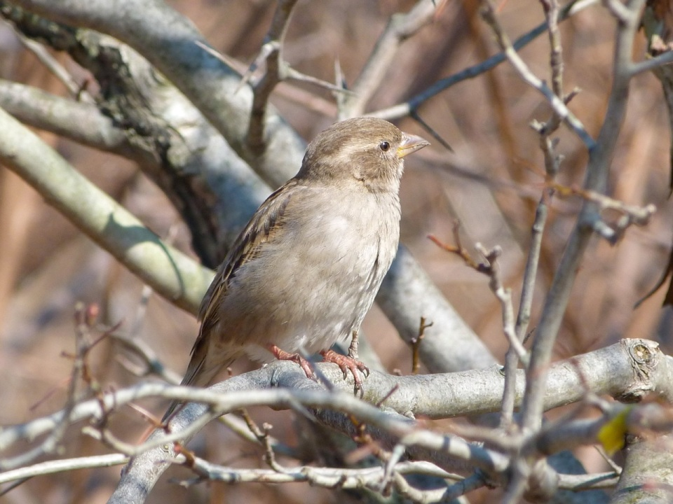 House Sparrow (f) NYC Prospect Park