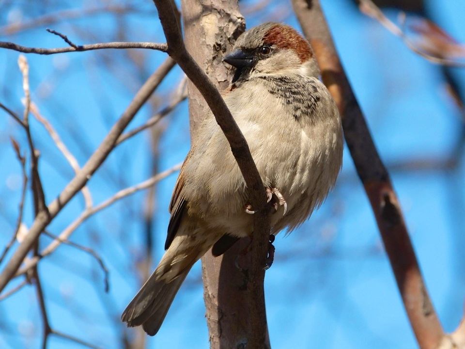 House Sparrow NYC Central Park