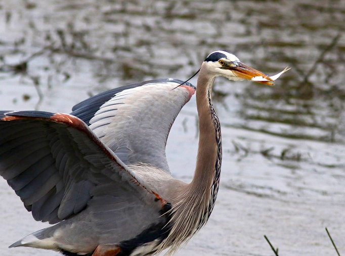 Great Blue Heron & Fish (Phil Lanoue)