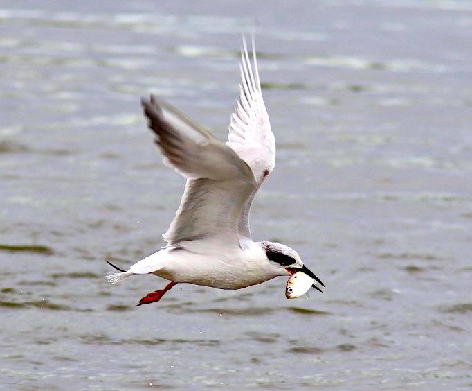 Tern with fish