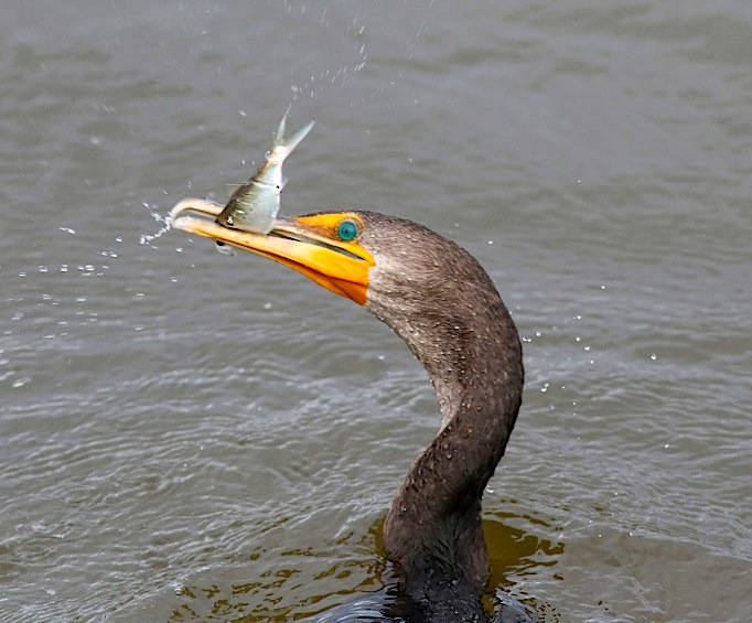 Cormorant with fish (Phil Lanoue)