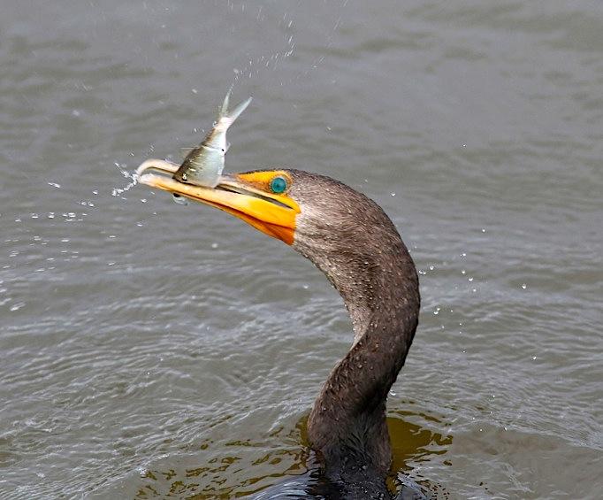 Cormorant with fish (Phil Lanoue)