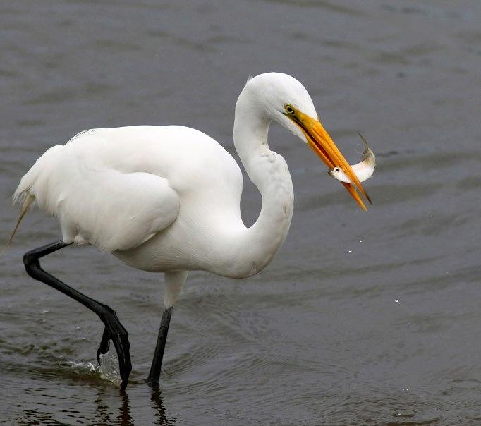 White Egret with fish (Phil Lanoue)