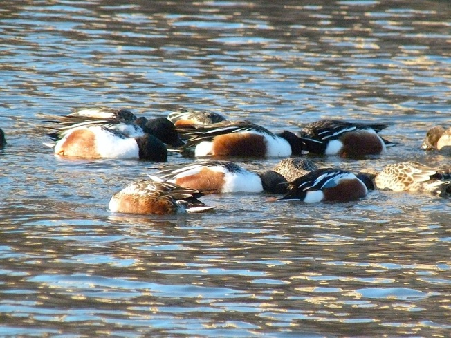 Northen Shovelers Foraging (Keith Salvesen) 1