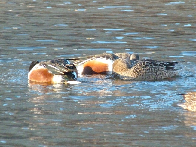 Northen Shovelers Foraging (Keith Salvesen) 3