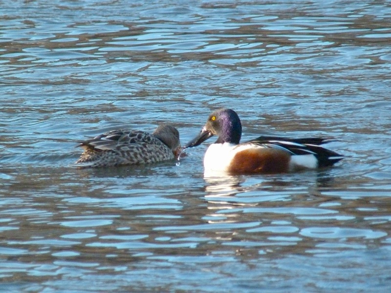 Northen Shovelers Foraging (Keith Salvesen) 5