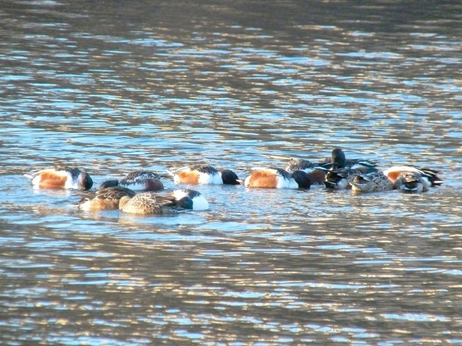 Northen Shovelers Foraging (Keith Salvesen) 7