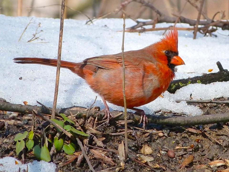 Northern Cardinal NYC