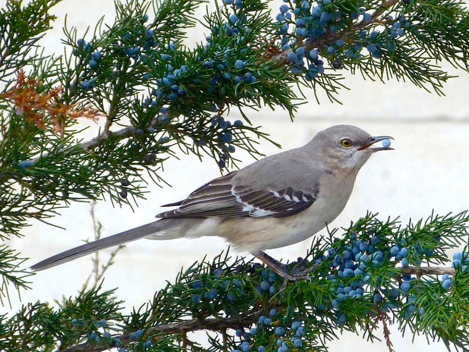 Northern Mockingbird NYC High Line