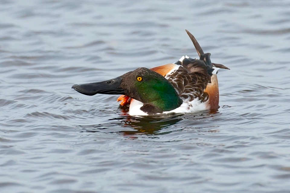 Northern Shoveler 2.Abaco Bahamas.2.12.Tom Sheley