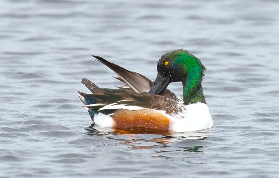 Northern Shoveler male. Abaco Bahamas. 2.12.Tom Sheley copy 2