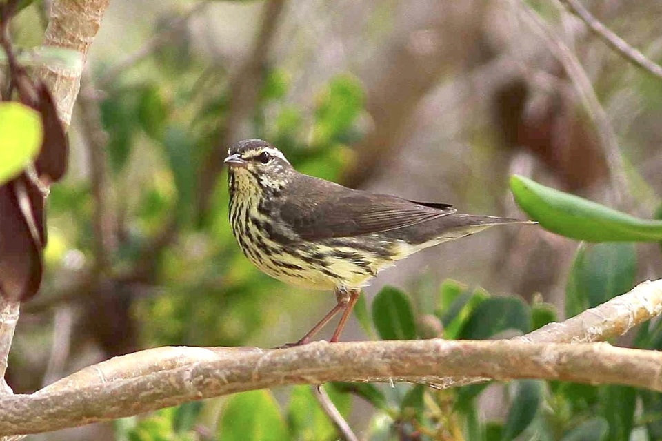 Northern Waterthrush, Abaco 1 (Gerlinde Taurer)