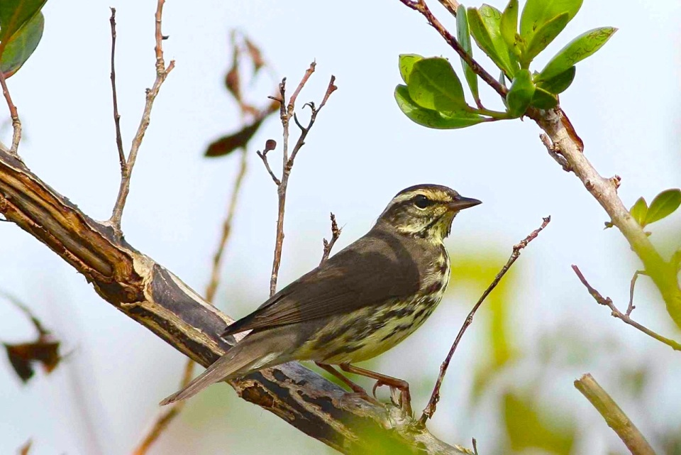 Northern Waterthrush, Abaco 2 (Gerlinde Taurer).jpg