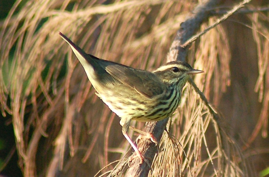 Northern Waterthrush, Abaco (Becky Marvil)