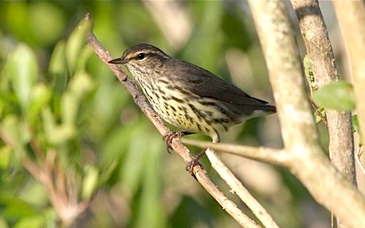 Northern Waterthrush, Abaco (Bruce Hallett)