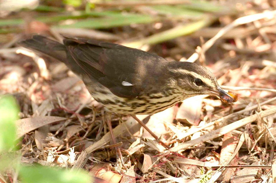 Northern Waterthrush.Bahama Palm Shores.Abaco.1.Tom Sheley